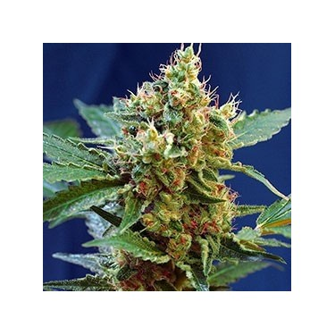 Auto Cream Mandarine XL