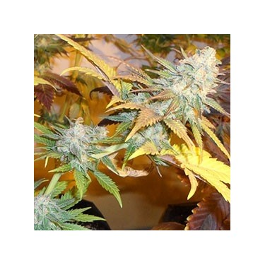 Auto Moby Dick 100% Fem