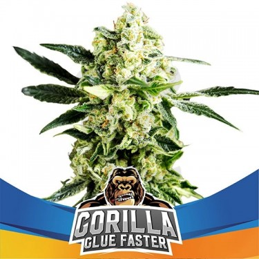 Gorilla Glue Faster Flowering
