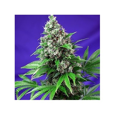 Killer Kush F1 Fast Version