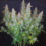 Cómo plantar semillas Autoflorecientes