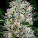 Cuanto tiempo tarda en crecer una planta de marihuana