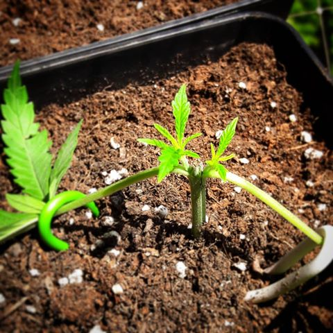 como podar plantas de marihuana