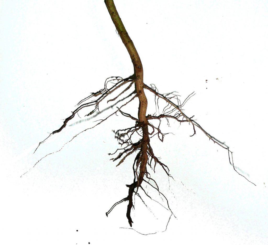 como cultivar marihuana autofloreciente