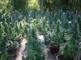 guíia de cultivo de marihuana para novatos