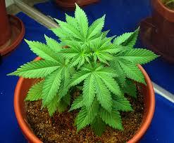 cuando empezar a usar abonos de marihuana