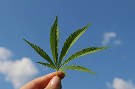 quitar las hojas grandes en plantas de marihuana