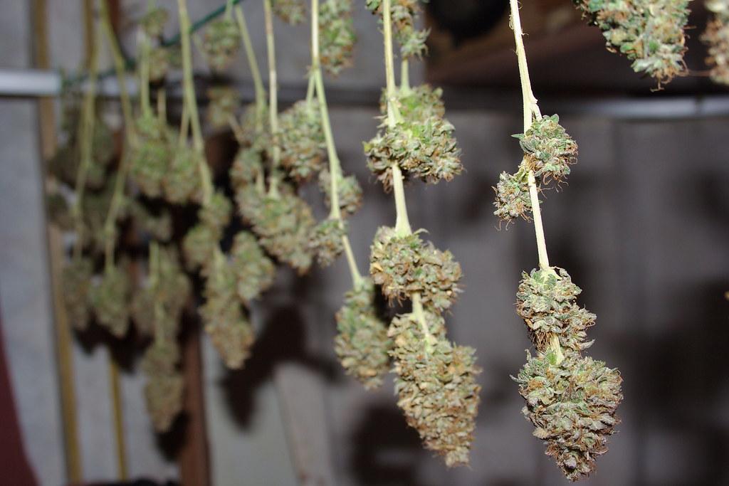 guia de cultivo de marihuana para novatos