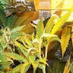 La altura del foco en el cultivo de marihuana indoor
