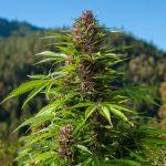 ¿Cómo hacer un cultivo de guerrilla de marihuana?