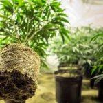 ¿Qué maceta usar en el trasplante de plantas de marihuana?